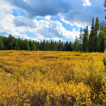 golden-meadow